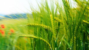 wheat-wallpaper-24053-24715-hd-wallpapers