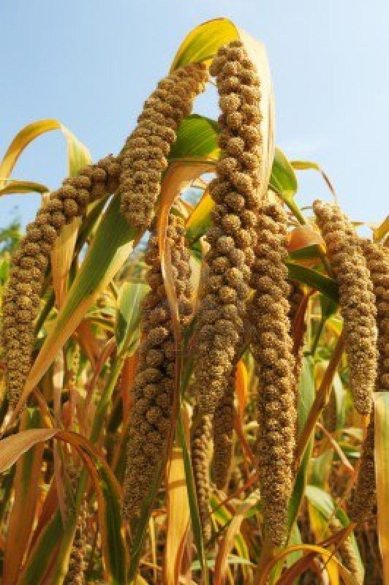 10831952-ripe-millet-crops-in-the-fields-in-autumn