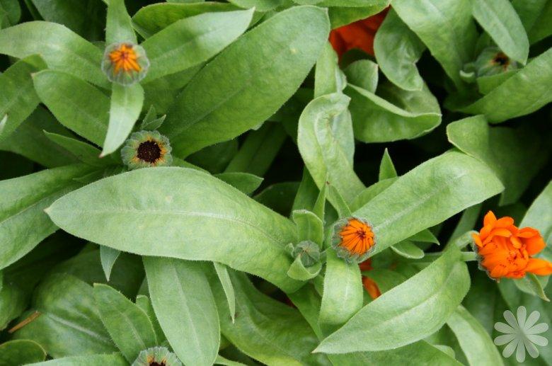 calendula_officinalis_calypso_orange_I1559P95084
