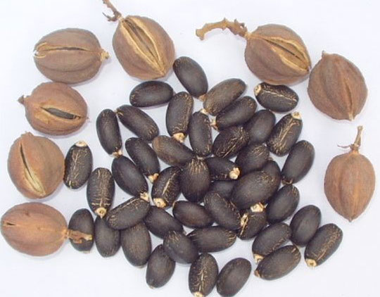 jatropha_seeds
