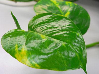 Golden-Pothos-Vine-Epipremnum-pinnatum