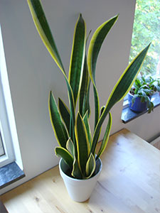 Snake plant and mother-in-law's tongue (Sansevieria trifasciata and S. trifasciata laurentii)
